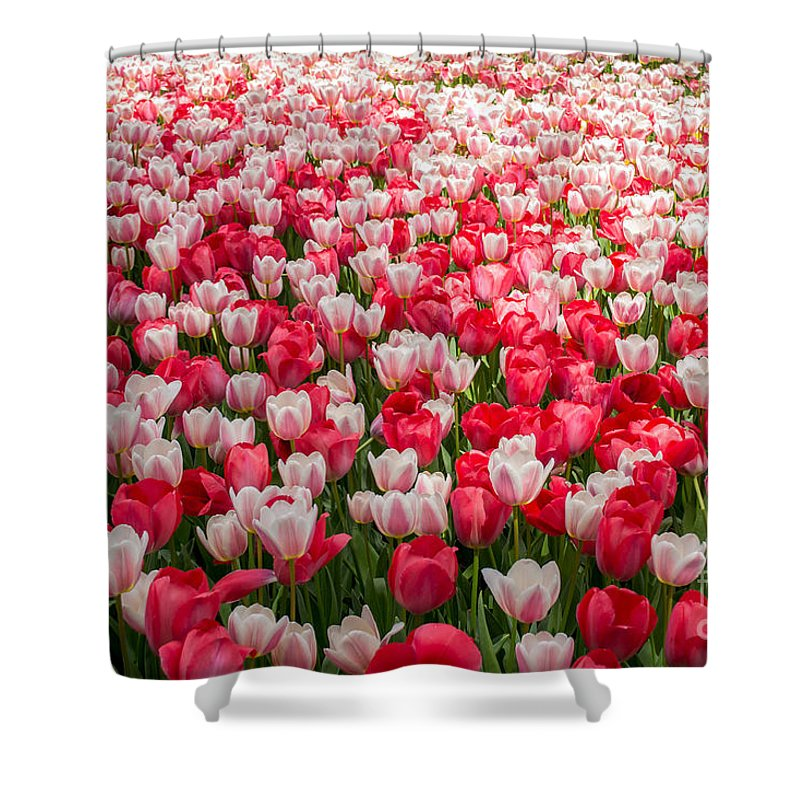 Tulips Shower Curtain featuring the photograph Tulips by Holden Parker