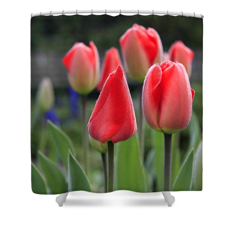 Tulips Shower Curtain featuring the photograph Tulips by Phil Crean