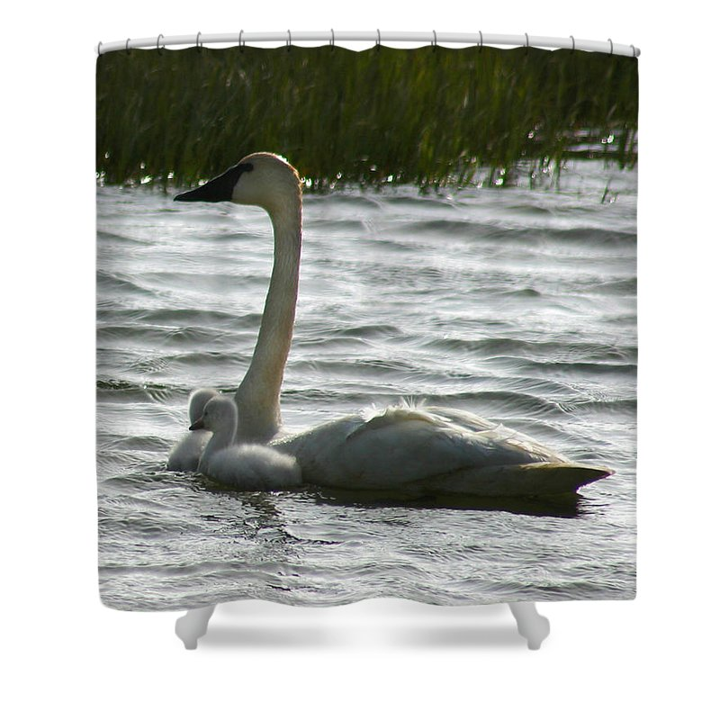 Swans Shower Curtain featuring the photograph Tundra Swan And Signets by Anthony Jones