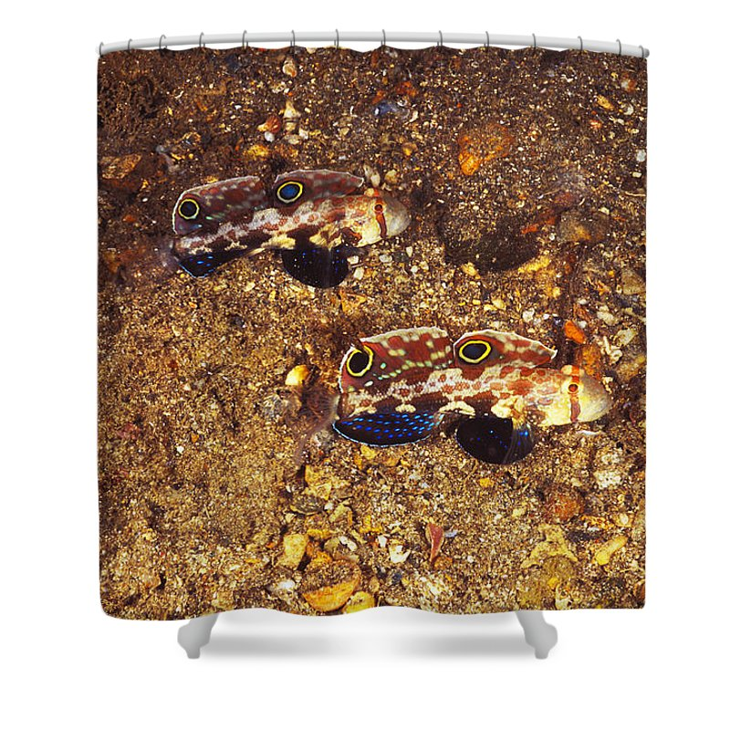 Solomon Islands Shower Curtain featuring the photograph Twinspot Goby Pair , Signigobius by James Forte