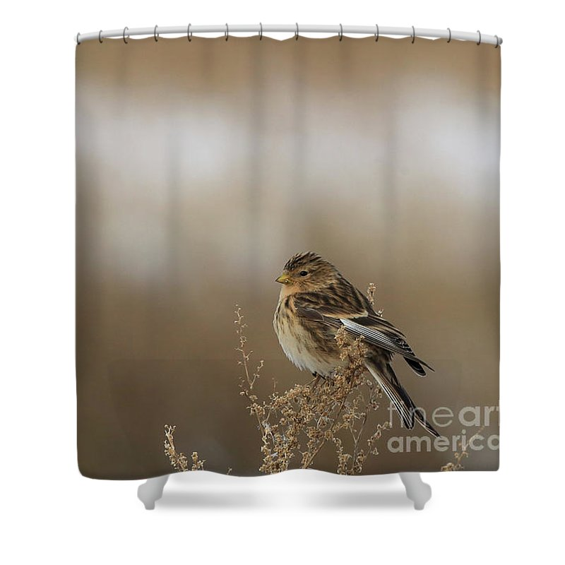 Twite Shower Curtain featuring the photograph Twite by Mats Janson
