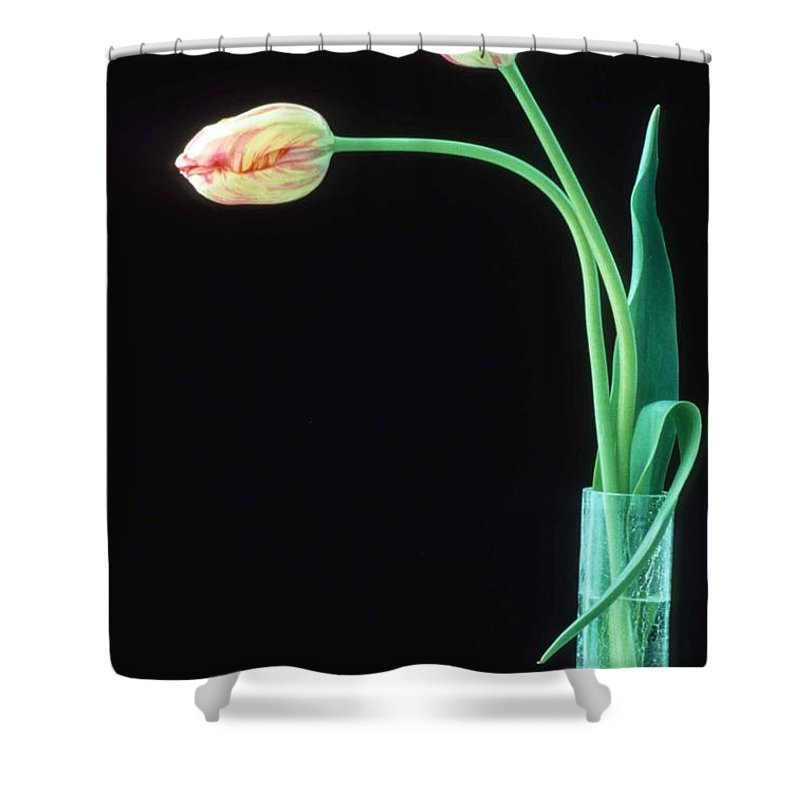 French Tulip Shower Curtain featuring the photograph Two French Tulips by Laurie Paci
