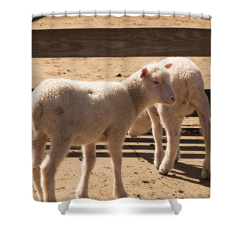 Sheep Shower Curtain featuring the photograph Two Little Lambs. by Diane Schuler