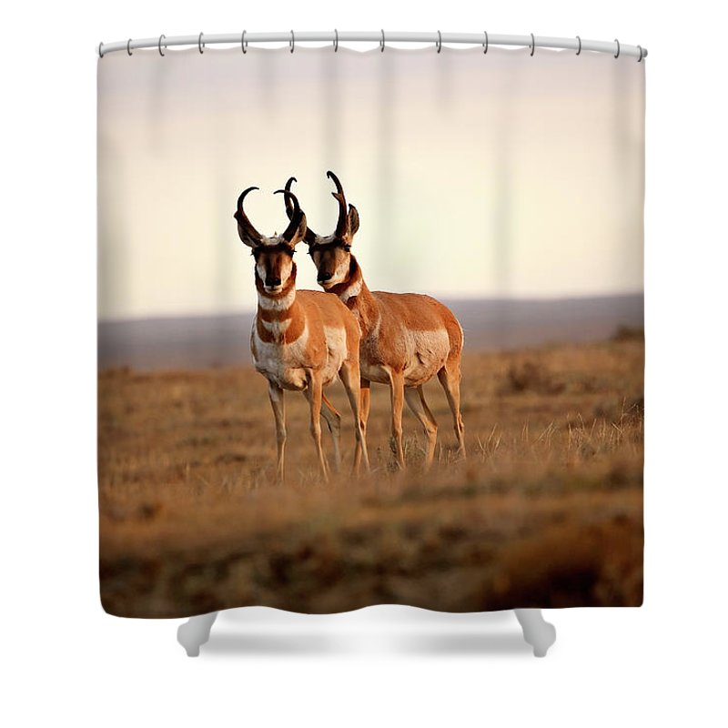 Pronghorn Antelope Shower Curtain featuring the digital art Two Male Pronghorn Antelopes In Alberta by Mark Duffy