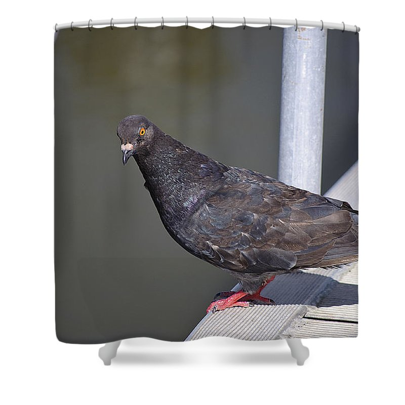 Pigeon Shower Curtain featuring the photograph Unimpressed by Kenneth Albin