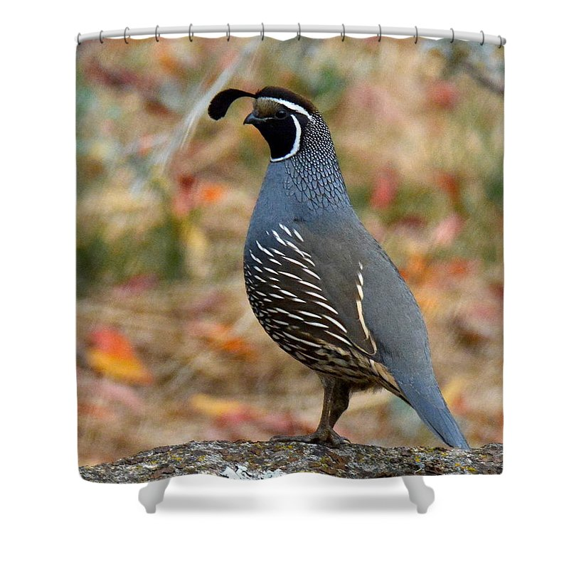 Quail Shower Curtain featuring the photograph Valley Quail by Michael Allred