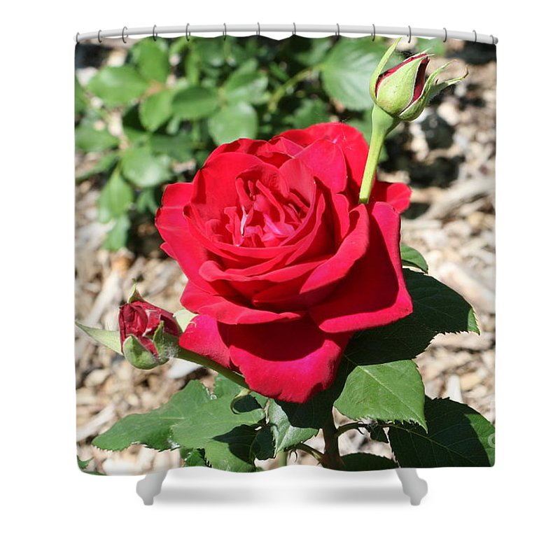 Rose Shower Curtain featuring the photograph Velvet Red Rose by Lynn Michelle