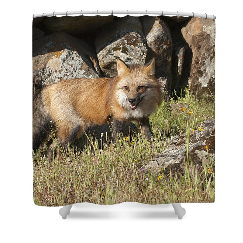 Red Fox Shower Curtain featuring the photograph Wary Red Fox by Sandra Bronstein