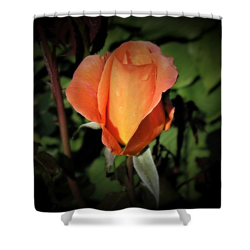 Water Shower Curtain featuring the photograph Water Beads On Orange Rose by David Rafuse Captured Images of Maine