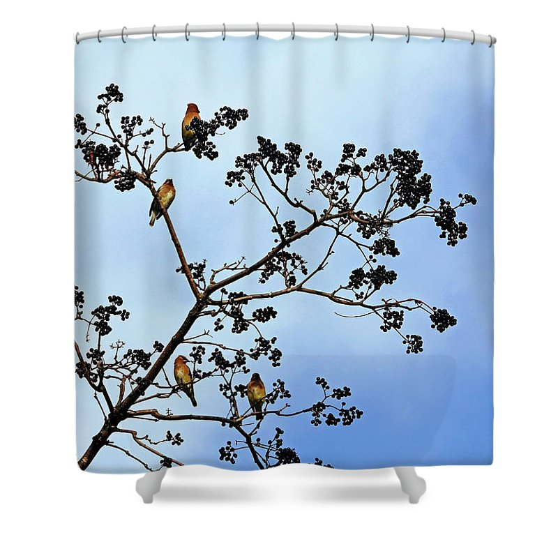 Cedar Waxwings Shower Curtain featuring the photograph Waxwing Museum by Debbie Oppermann