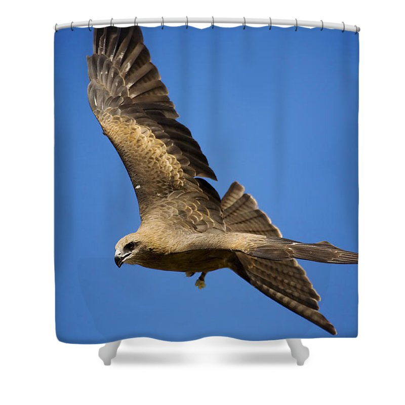 Eagle Shower Curtain featuring the photograph Wedgetail Eagle Flight by Mike Dawson