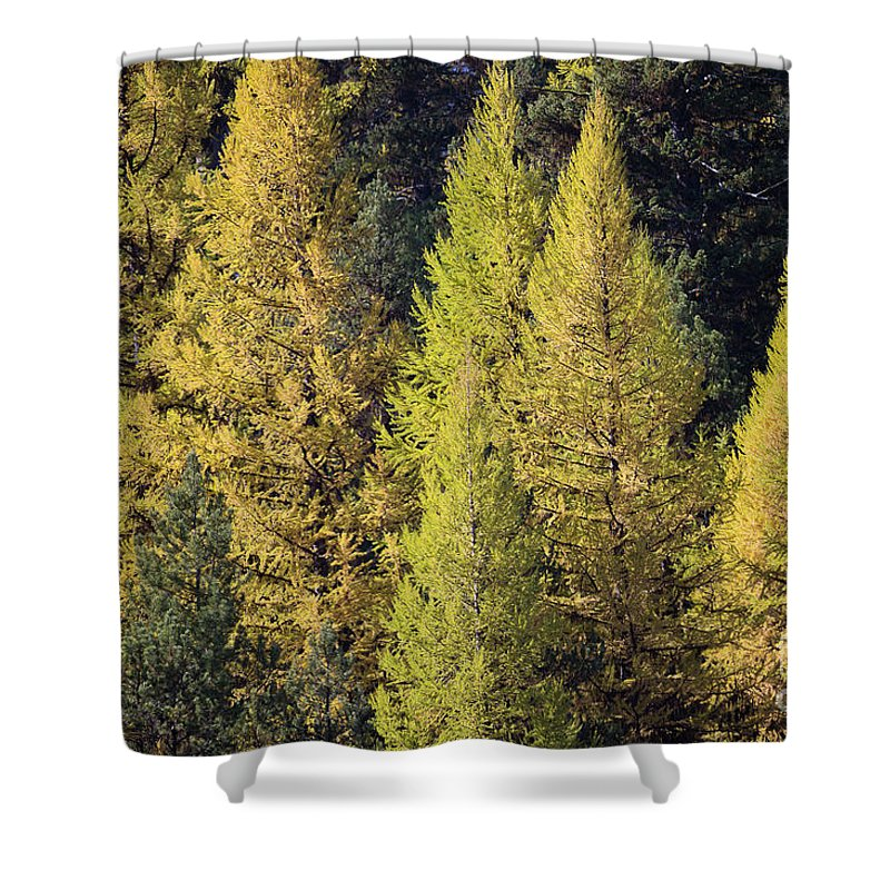Eastern Oregon Shower Curtain featuring the photograph Western Larch by Idaho Scenic Images Linda Lantzy