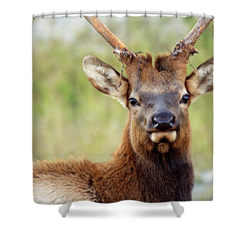 Bull Elk Shower Curtain featuring the photograph Whatcha Looking At by Larry Ricker