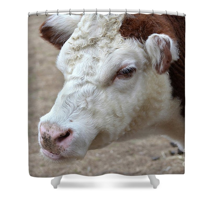 Hiefer Shower Curtain featuring the photograph White And Brown Heifer Dairy Cow by DejaVu Designs
