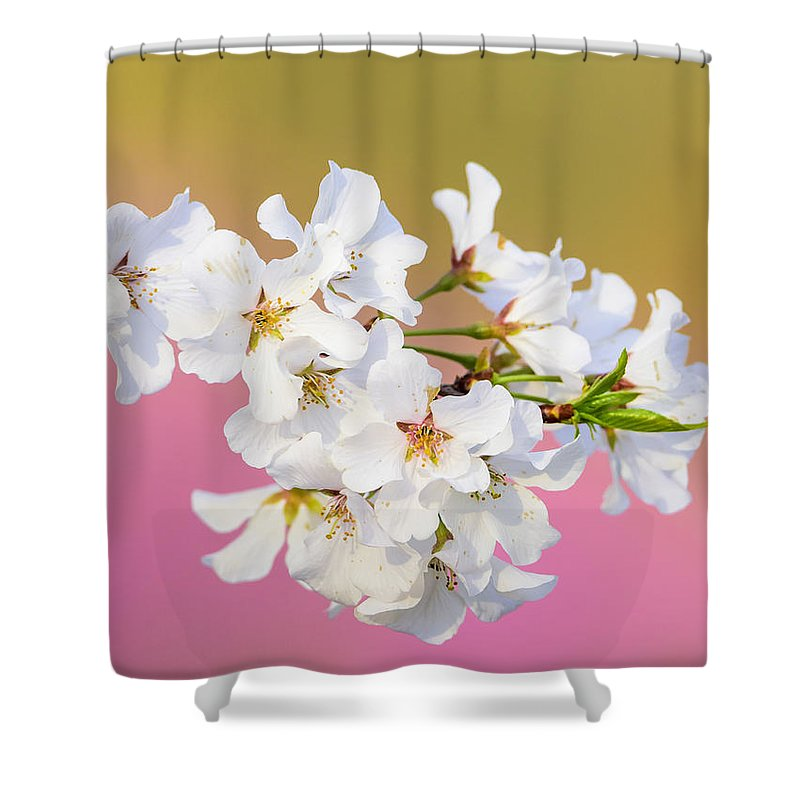 Cherry Blossom Shower Curtain featuring the photograph White Cherry Blossoms Against A Pink And Gold Background by Steve Samples