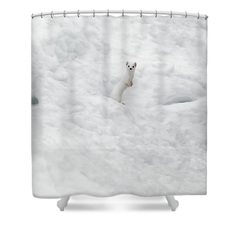 White Weasel Shower Curtain featuring the photograph White Ermine 2 by Leland D Howard