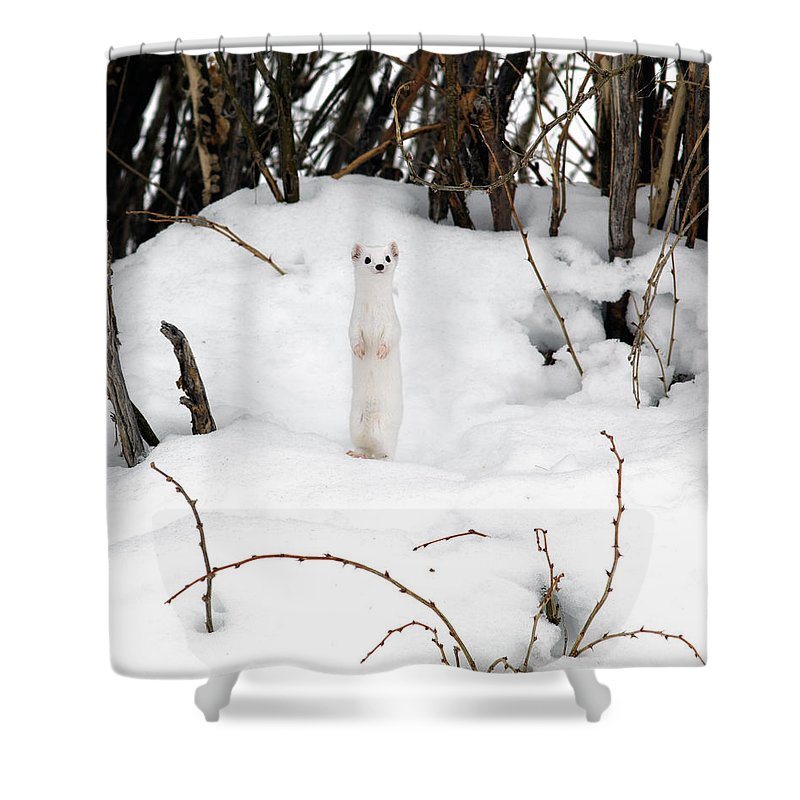 White Weasel Shower Curtain featuring the photograph White Ermine by Leland D Howard