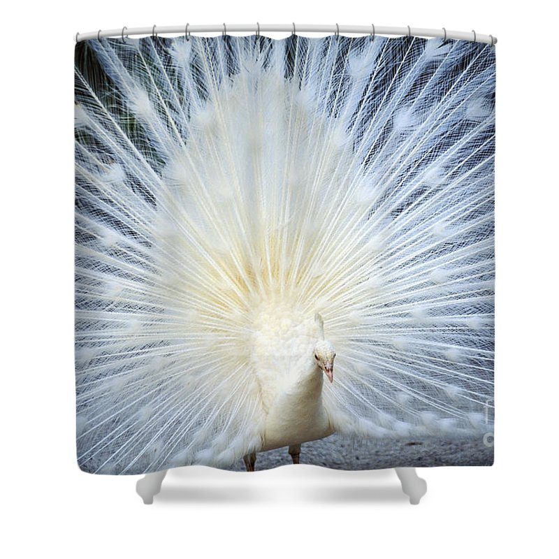 Albino Shower Curtain featuring the photograph White Peacock by Rita Ariyoshi - Printscapes