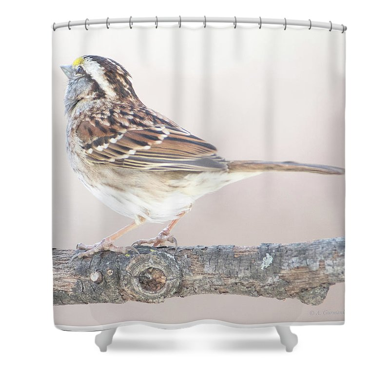 White-throated Sparrow Shower Curtain featuring the photograph White-throated Sparrow Looking Skyward by A Gurmankin