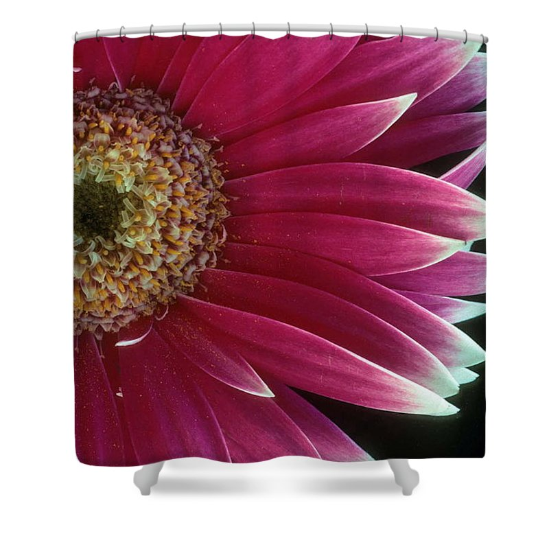 Gerber Daisy Shower Curtain featuring the photograph White Tipped Gerber by Laurie Paci