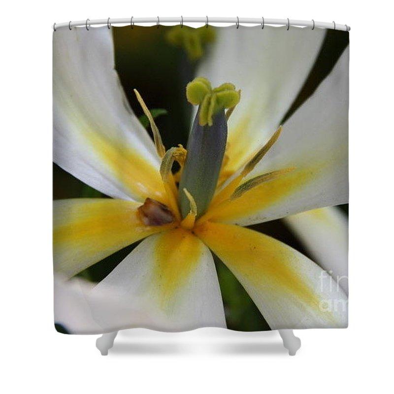 White Tlips Shower Curtain featuring the photograph White Tulip by Jolanta Anna Karolska