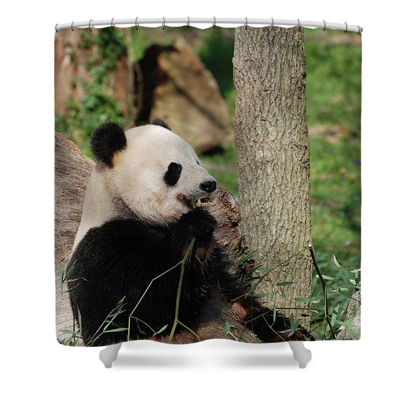 Panda Shower Curtain featuring the photograph Wild Giant Panda Bear Eating Bamboo Shoots by DejaVu Designs
