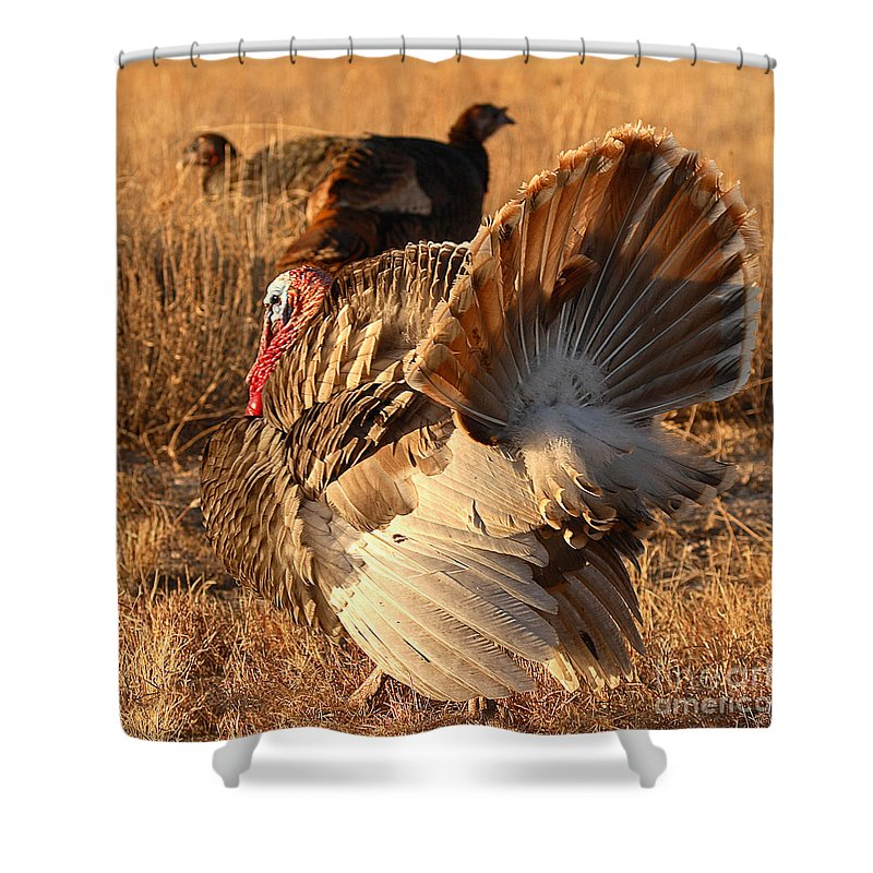 Turkey Shower Curtain featuring the photograph Wild Turkey Tom Following Hens by Max Allen