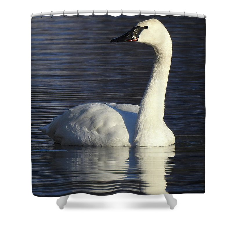 Swan Reflection White Wildlife Shower Curtain featuring the photograph Winter Swan by Christopher Brown