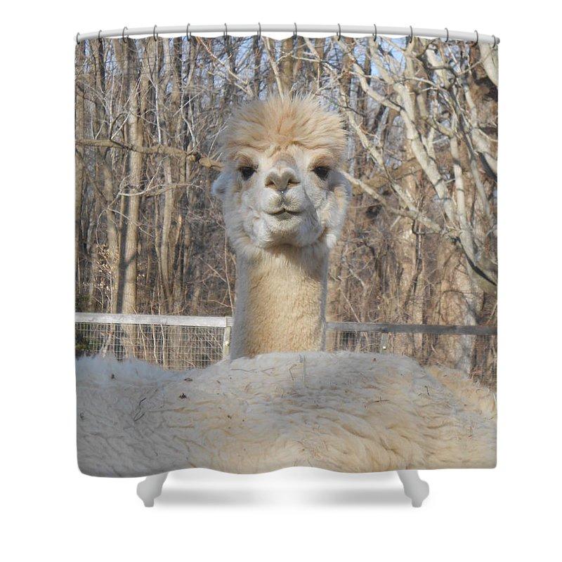Alpaca Shower Curtain featuring the photograph Winter White Alpaca by Karen Quinker