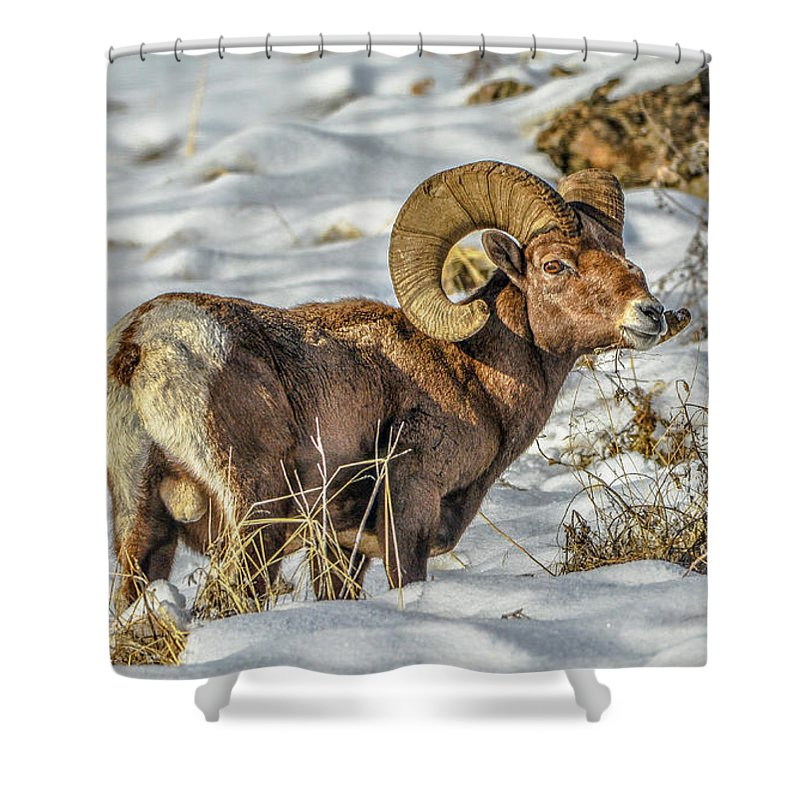 Bighorn Ram Shower Curtain featuring the photograph Wintering Bighorn by Jason Brooks