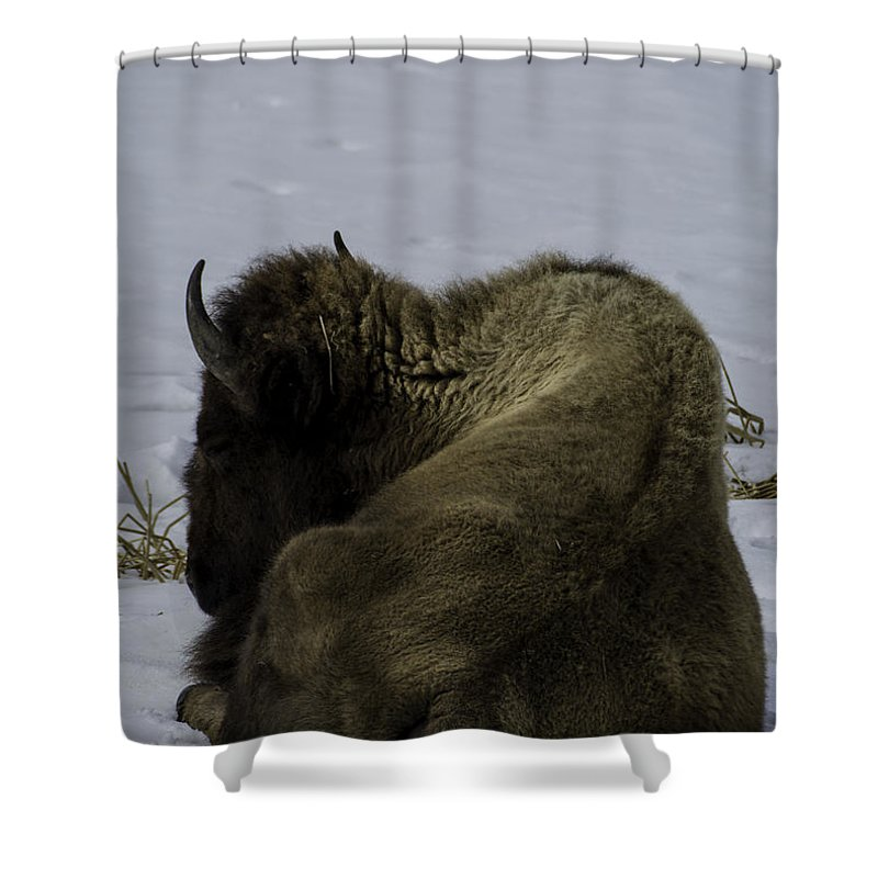 Bison Shower Curtain featuring the photograph Wintry Slumber by Tory Stephens