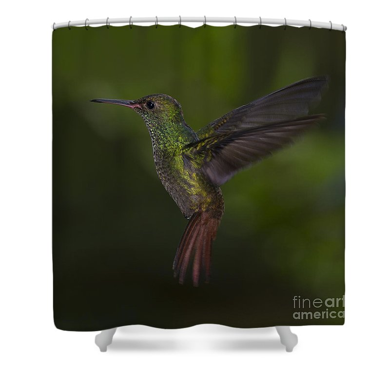 Festblues Shower Curtain featuring the photograph With A Rufous Tail... by Nina Stavlund