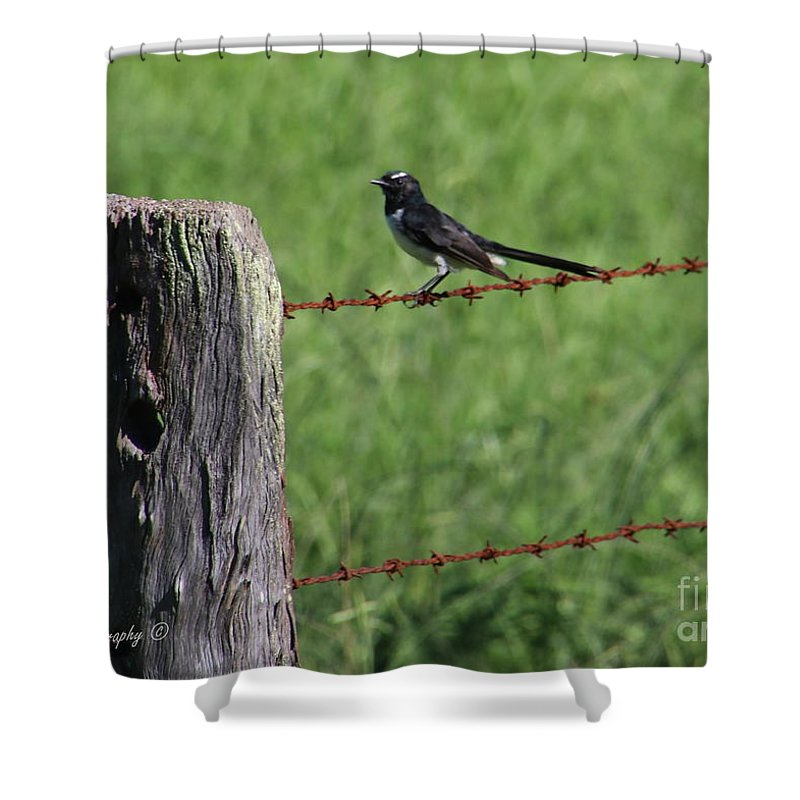 Wilflife Shower Curtain featuring the photograph Willie Wagtail by Mikhael van Aken