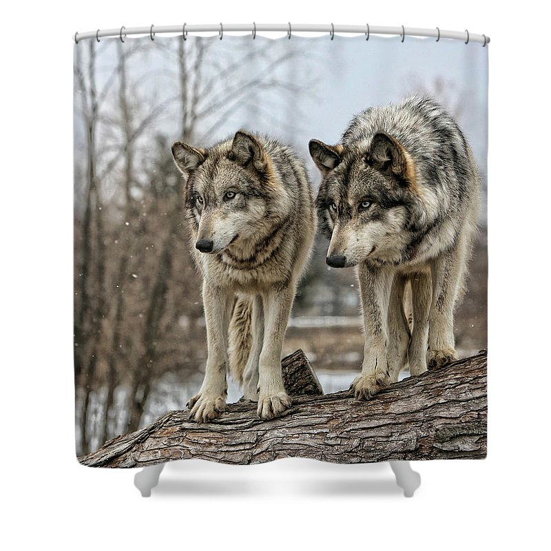 Wolf Wolves Animal Wildlife Mammal Photography Photograph Canis Lupis Grey Timberwolf Shower Curtain featuring the photograph Wolf Pair by Shari Jardina