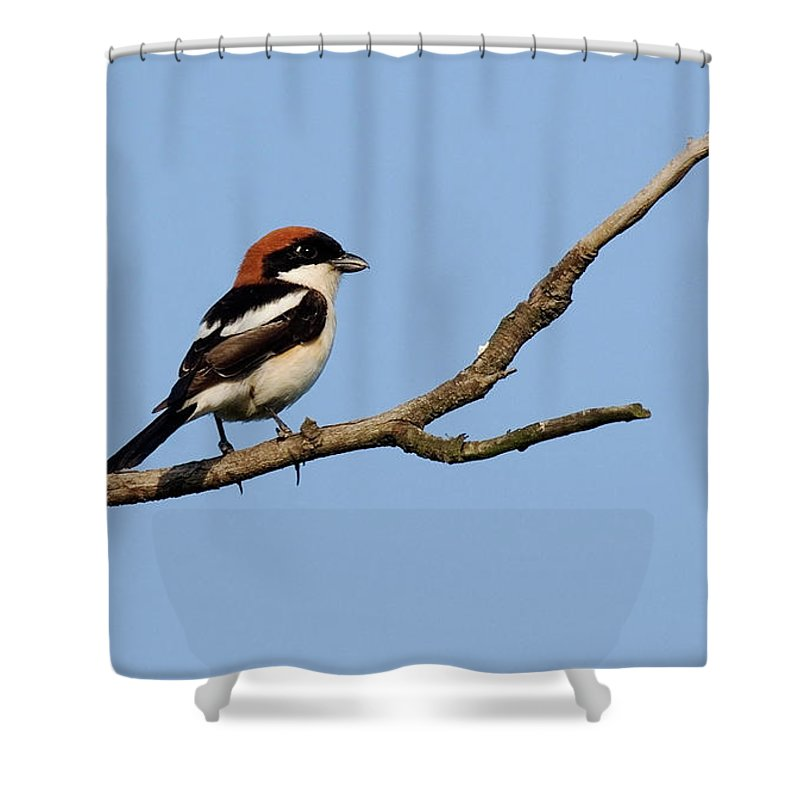 Woodchats Shower Curtain featuring the photograph Woodchat Shrike by Cliff Norton