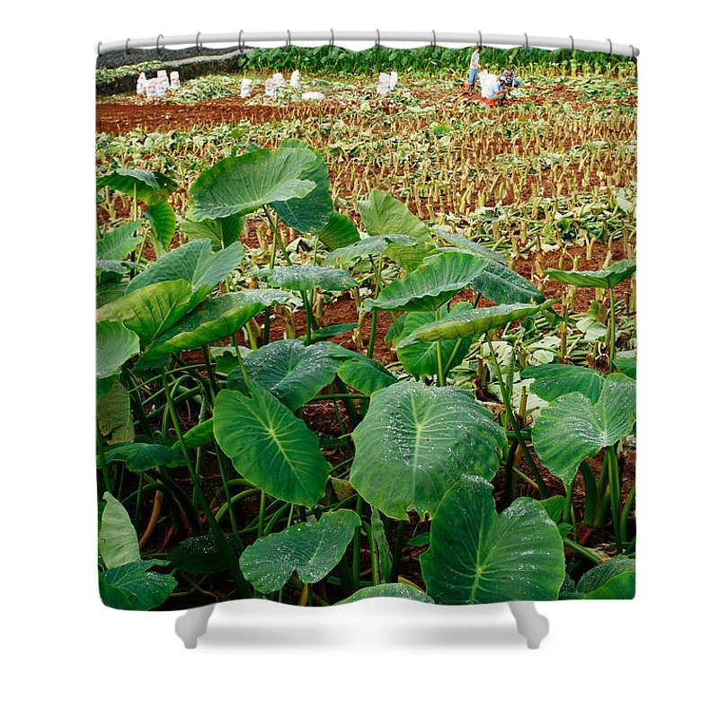 Agriculture Shower Curtain featuring the photograph Yams Farm In Azores by Gaspar Avila