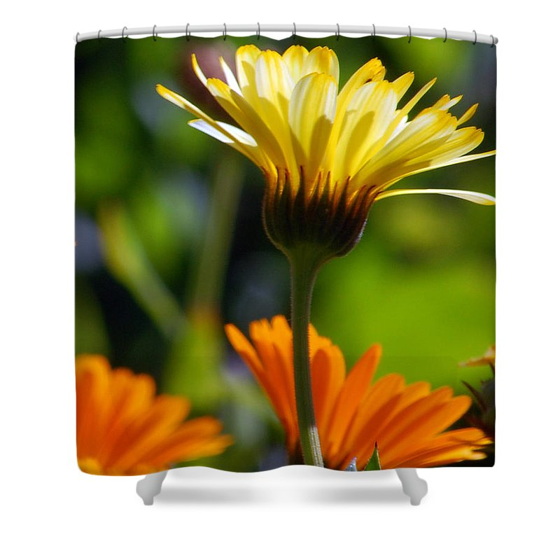 Daisy Shower Curtain featuring the photograph Yellow Daisy by Amy Fose