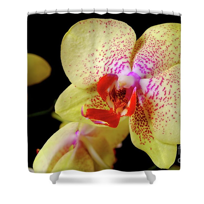 Nature Shower Curtain featuring the photograph Yellow Phalaenopsis Orchid by Dariusz Gudowicz