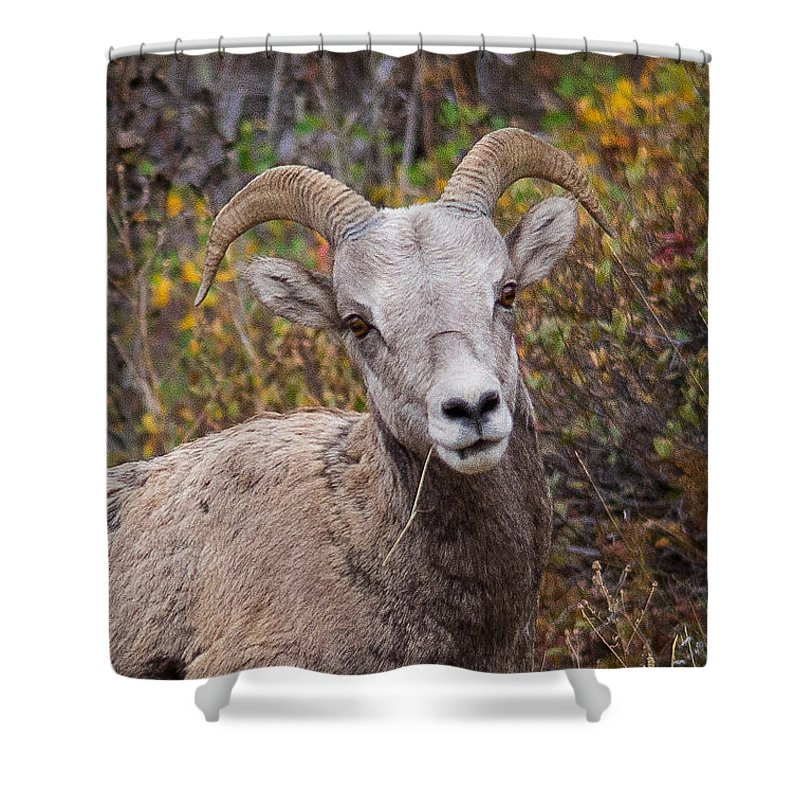 Mountain Sheep Shower Curtain featuring the photograph Yes? by Penny Miller