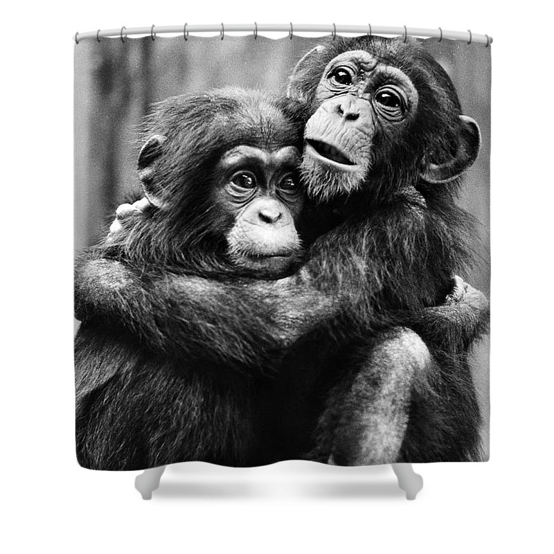 20th Century Shower Curtain featuring the photograph Young Chimpanzees by Granger