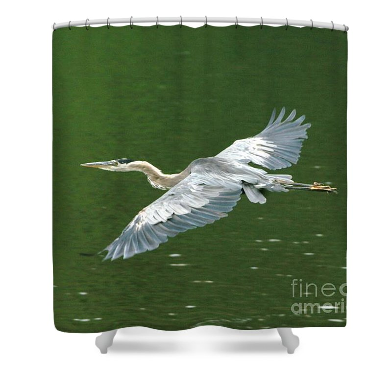 Landscape Nature Wildlife Bird Crane Heron Green Flight Ohio Water Shower Curtain featuring the photograph Young Great Blue Heron Taking Flight by Dawn Downour