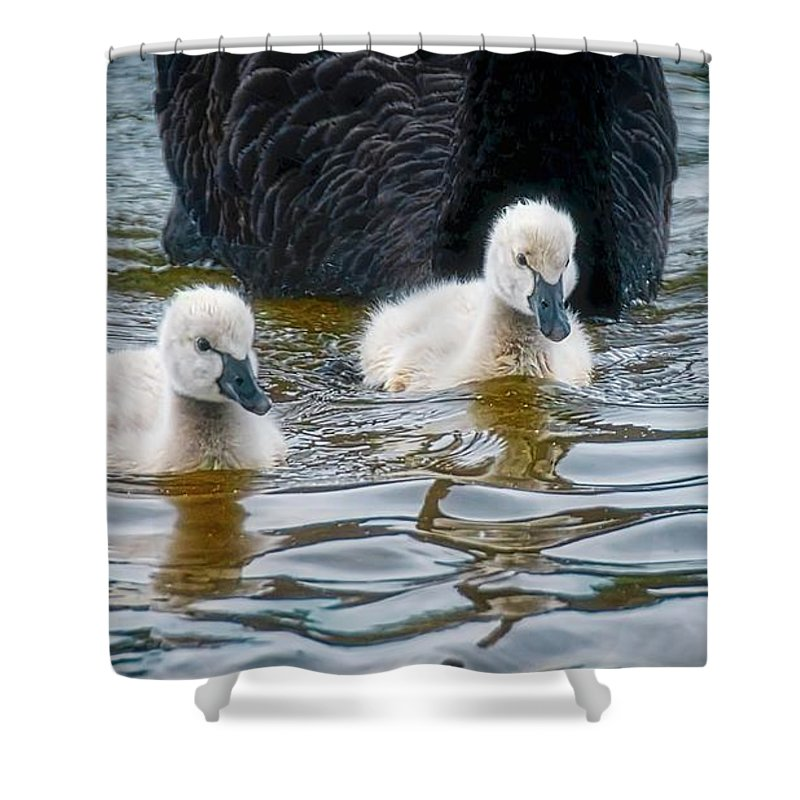 Black Swan Cygnets Shower Curtain featuring the photograph Young 'uns, Black Swan Cygnets by Zayne Diamond Photographic