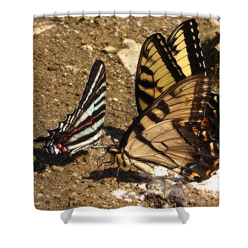 Long Tailed Zebra Butterfly Images Tiger Swallow Tail Butterfly Images Maryland Butterfly Prints Yellow Butterfly Images Entomology Forest Ecology Biodiversity Nature Rare Butterfly Prints Rare Butterfly Images Habitat Conservation Shower Curtain featuring the photograph Zebra And Tigers by Joshua Bales