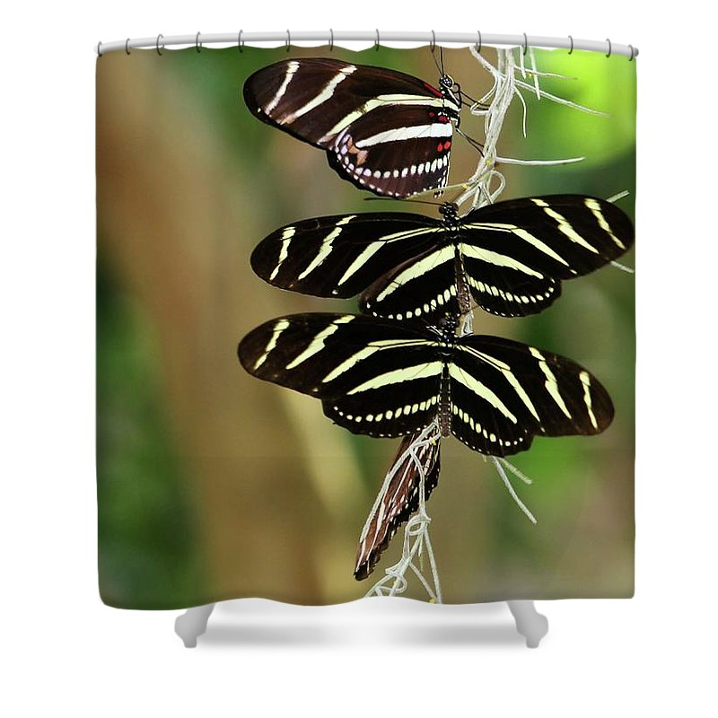 Zebra Shower Curtain featuring the photograph Zebra Butterflies Hanging On by Sabrina L Ryan