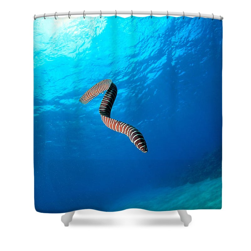 Animal Art Shower Curtain featuring the photograph Zebra Moral Eel by Ed Robinson - Printscapes