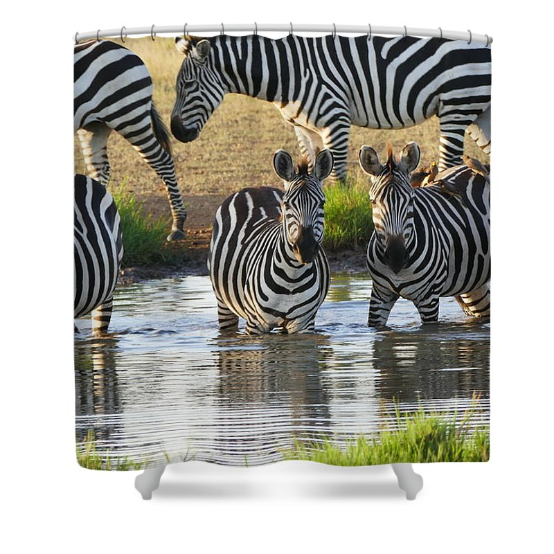 Shower Curtain featuring the photograph Zebra15 by Kathy Sidell