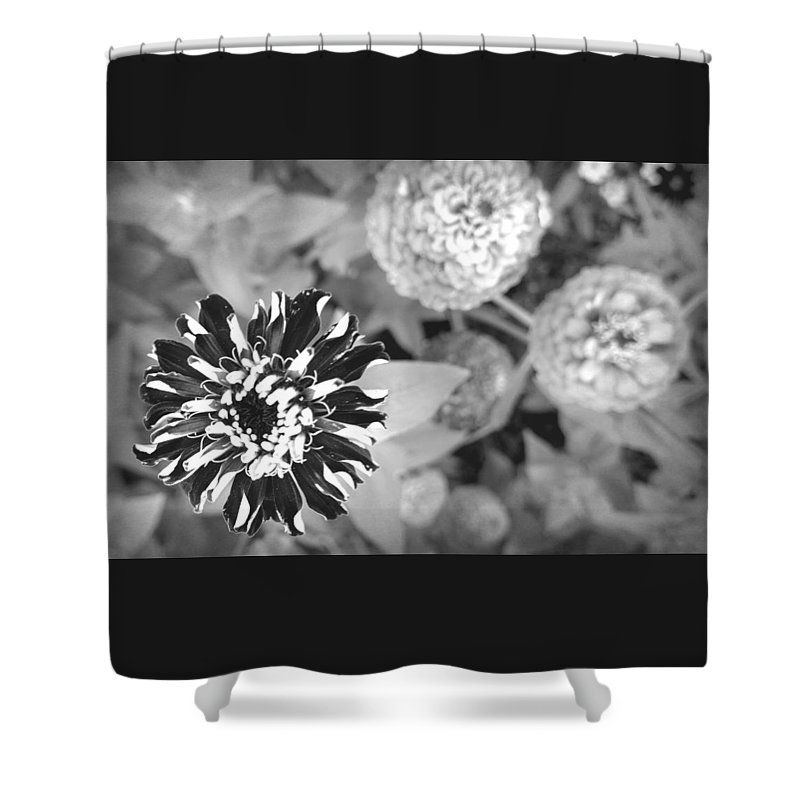 Black And White Shower Curtain featuring the photograph Zinnia In Black And White by Lois Braun