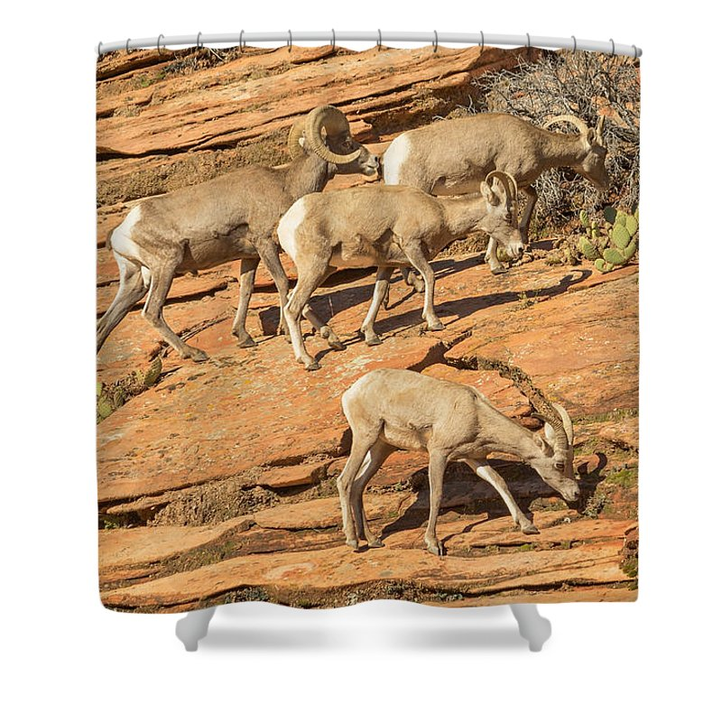 Sheep Shower Curtain featuring the photograph Zion Big Horn Sheep by Peter J Sucy