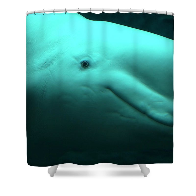 One Animal Shower Curtain featuring the photograph Beluga Whale by Lingbeek
