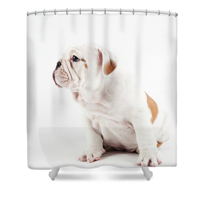 Pets Shower Curtain featuring the photograph Cute Bulldog Puppy On White Background by Peter M. Fisher